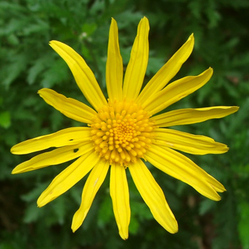 A bright yellow shrubby daisy.