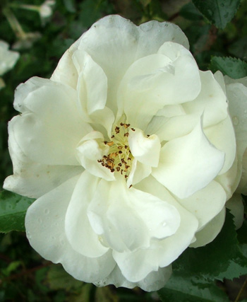 A white Flower Carpet rose.
