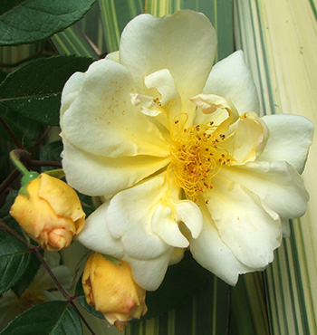 A Hybrid Musk rose which drapes itself over the Phormium Cream Delight!