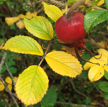 And a shiny red rosehip.