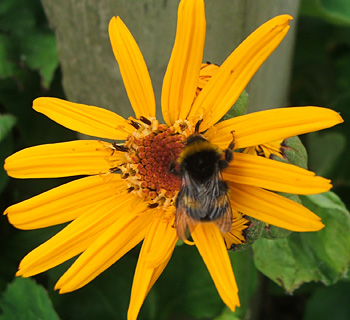 Happy on a Ligularia flower.