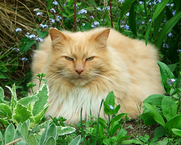 My big fluffy gardening cat.