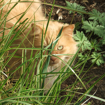 SIlly cat, trying to hide in the grass...