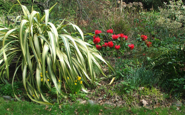 Phormium Cream Delight, red rhododendron, and miniature yellow daffodils.