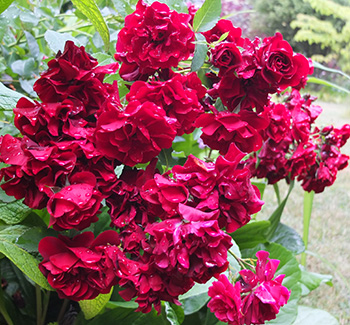 A rose with large clusters of flowers.