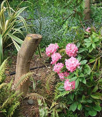 Ferns, a Phormium, a tree stump, and a newly flowering pink rhododendron.