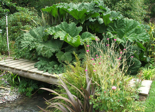 The giant Gunnera.