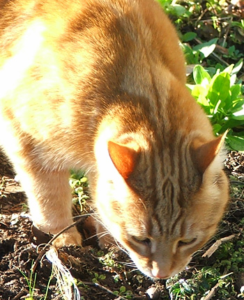 It's Percy, poking about in my vegetable garden compost,