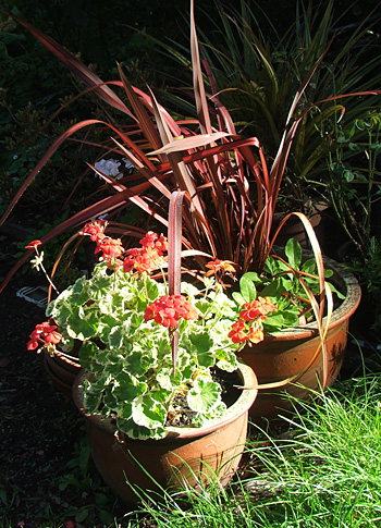 A pelargonium and a red Phormium.