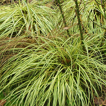 A pretty cream and green carex that I grow.