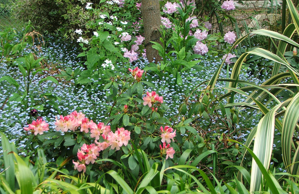 Rhododendrons and Forget-Me-Nots in the Willow Tree Garden.