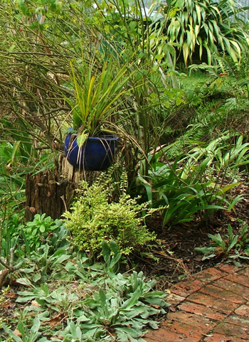 Green Cordyline in a blue pot.