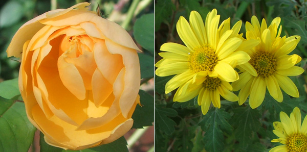 Graham Thomas the rose, and a chrysanthemum.