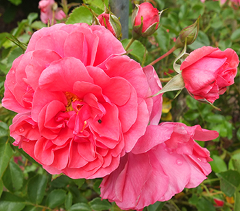 A rich pink rose, which should be a climber. Hmm...