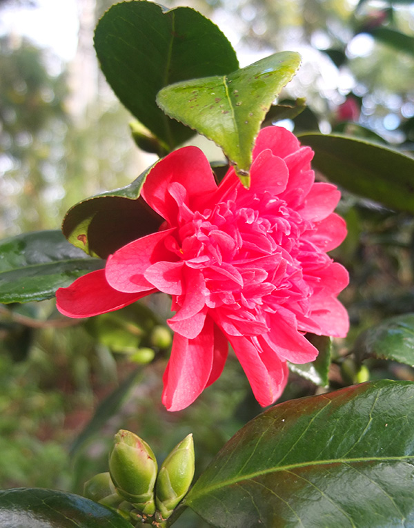 Hard to be grumpy when this beautiful shrub is flowering!