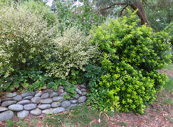 What a boring photograph! A Corokia on the left, a golden Escallonia on the right.