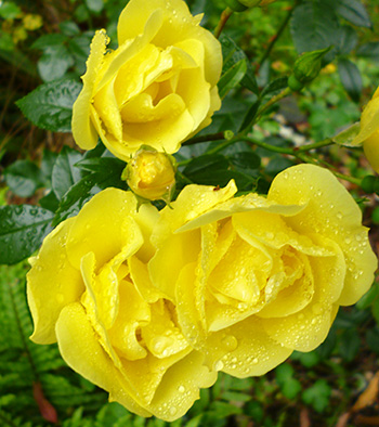 Noacks Flower Carpet Roses