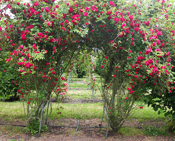 Once flowering, and such a strong rose. The archway is suffering!