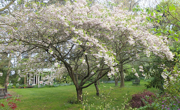 The big flowering cherry trees are in flower.