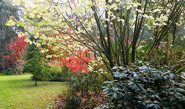 The red leaves are from a Cotinus and a far Oak tree.