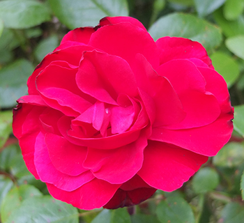 This rose is often badly affected by rust.