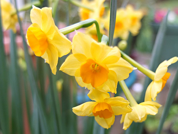 Or Narcissus?
