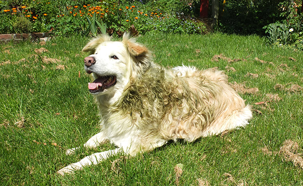 An olive-green Border Collie?