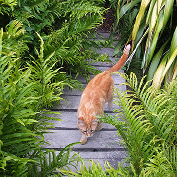Much the shyer of the two ginger cats.