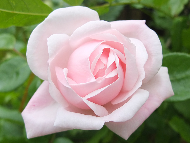 Pale Pink Rose Images