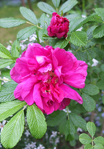 A fragrant early flowering rugosa.