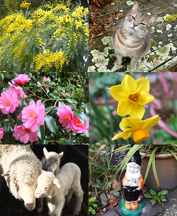 Wattle flowering, Minimus smiling, spring bulbs, gnome, twin lambs, pink Camellia.