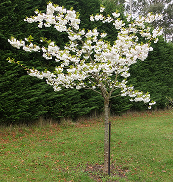 This is the memorial tree for dear Smoocher, my ginger and white cat,