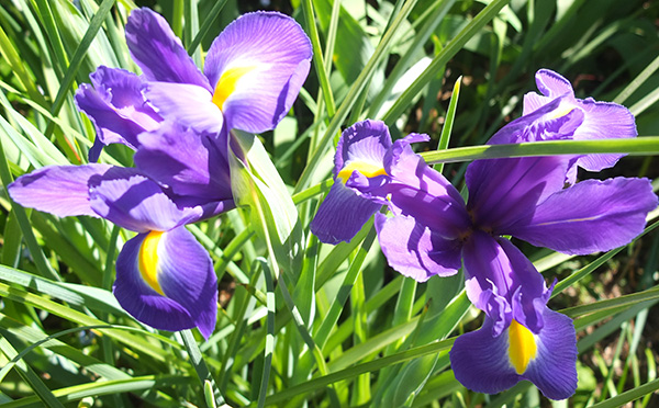 I call these Dutch Irises - not sure if this is correct.