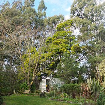 The big Wattle tree is almost flowering.