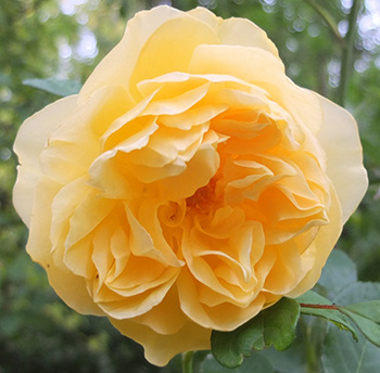 A late flowering rose for autumn.