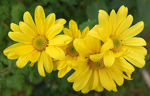 Bright yellow Mums...