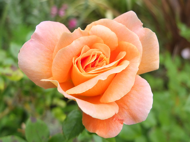 Apricot Rose Images