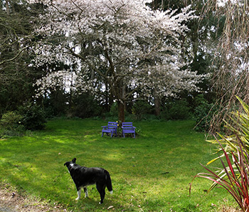 The cherry tree is in blossom.