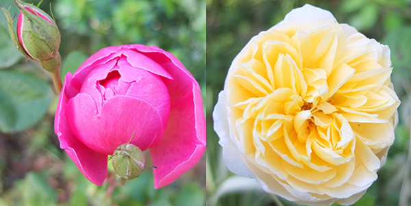 Both David Austins, and both only have one bloom.