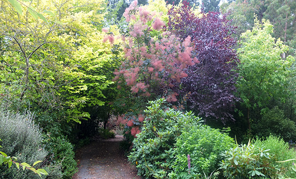A Cotinus, Prunus, and a Golden Elm.