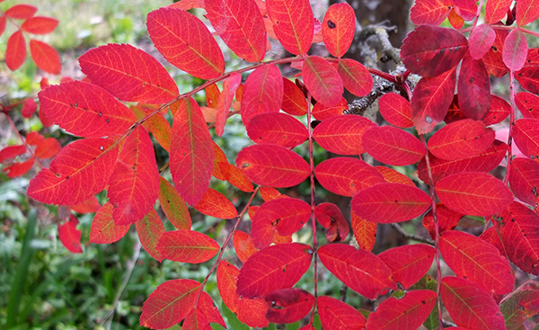 A Sorbus. And only the lowest leaves have gone red. Odd.