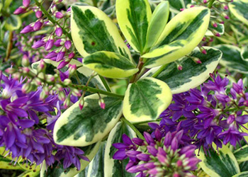 Variegated with purple flowers.