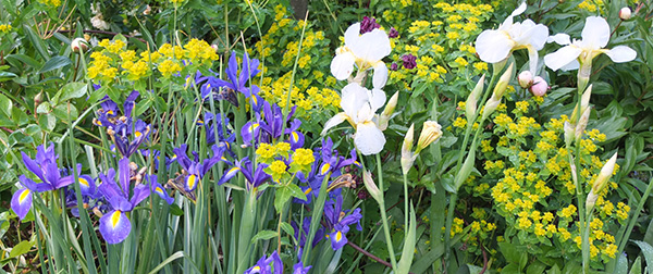 Blue Dutch irises and big whites.