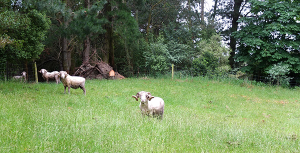 In the ram paddock. And, technically, only two intact rams.