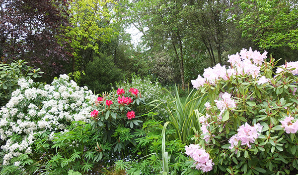 Choisya and late flowering Rhododendrons.