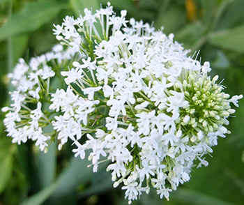 I think it is also called Valerian.