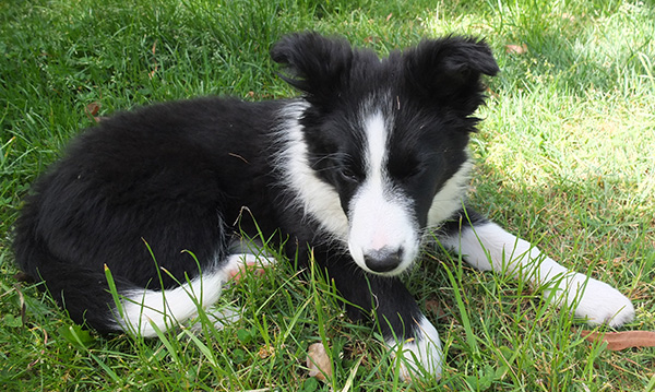 A black and white border collie.