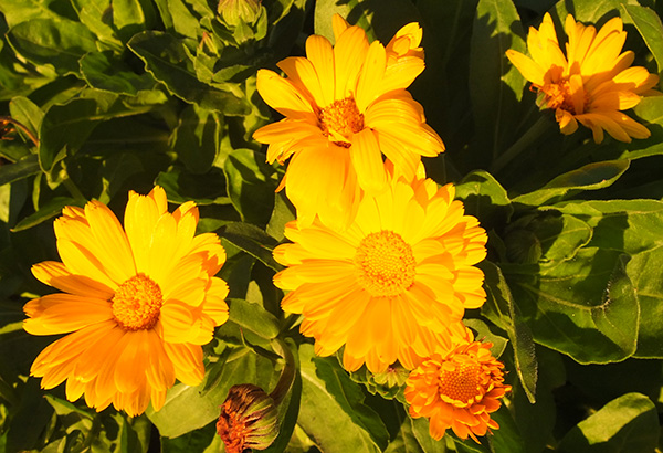 Golden flowers in the golden sun of late afternoon.