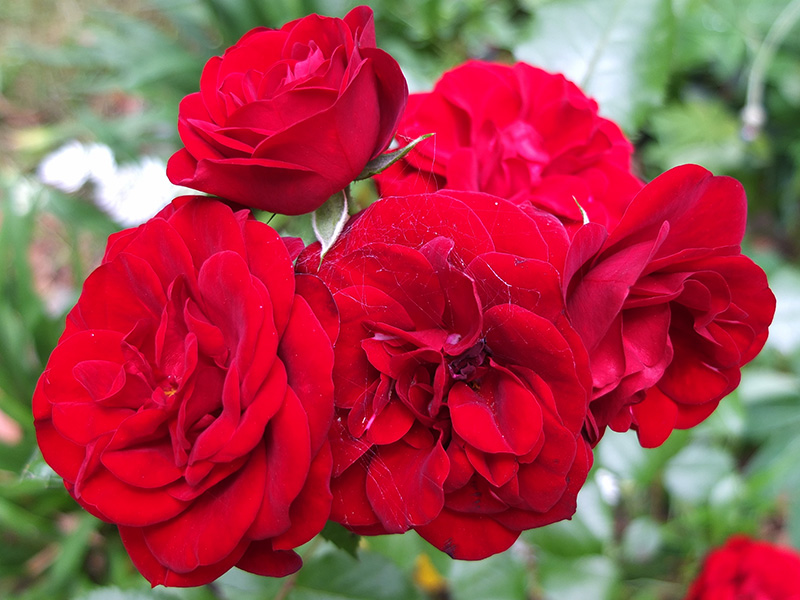 red rose image gallery, Natural flower
