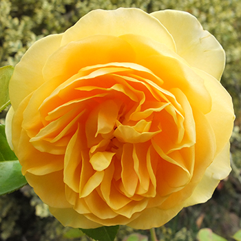 Favourite yellow rose.